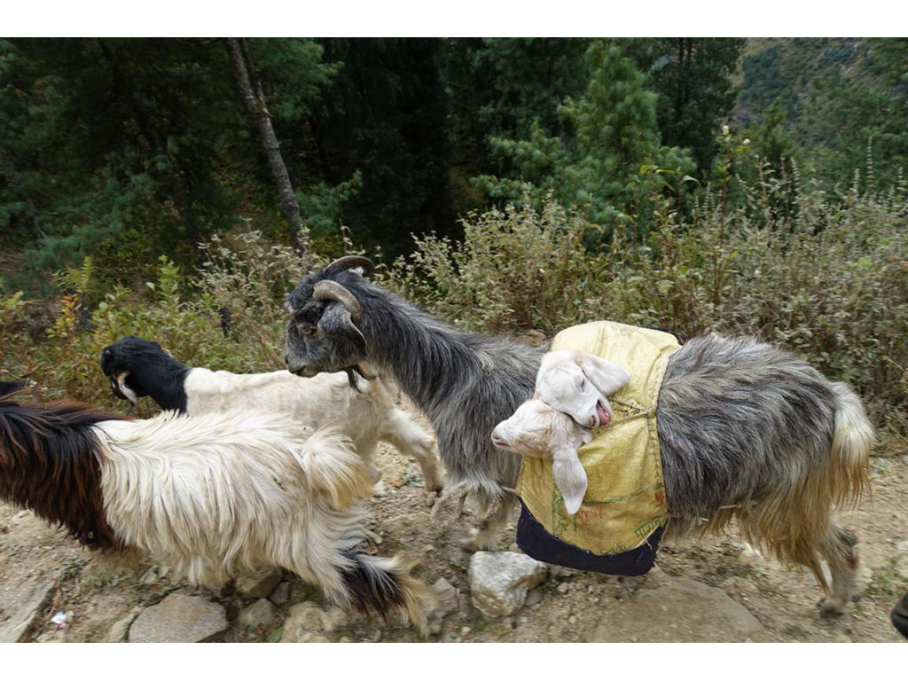 Three goats running down an uneven path, one of them has two babies in her back pocket.