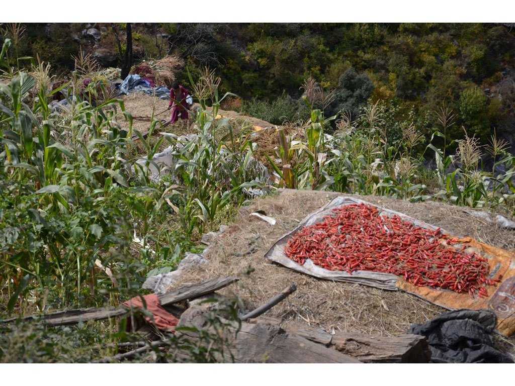 Chilli drying on a cloth on a roof in Simikot, Nepal. Mahila Avaz - Women' Voice teaches women other ways of food preservation too.